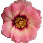 Persica roses® Angel Eyes