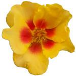 Persica roses® Eye of the Tigel