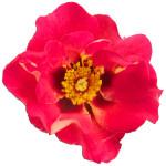 Persica roses® Eye to Eye