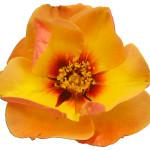 Persica roses® Persian sun