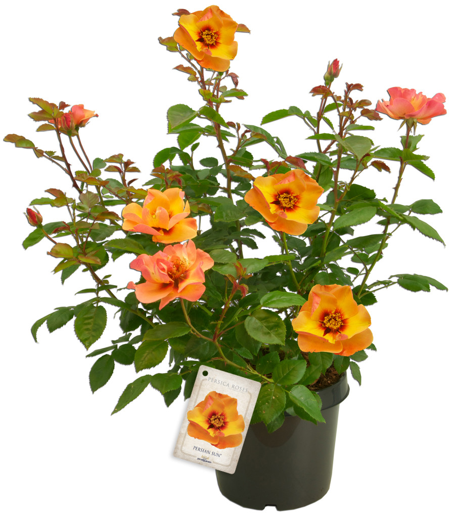 Persica roses® - Persian sunkopie